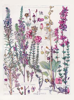 Botanical Print - Heathers - by Isabel Adams -Watercolour - British Wild Flowers