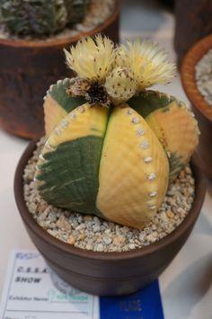 Astrophytum o cactus estrella Growing Succulents, Cacti And Succulents, Planting Succulents, Planting Flowers, Cactus Planta, Cactus Y Suculentas, Succulent Gardening, Succulent Terrarium, Agaves