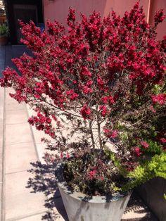 New Zealand Tea Tree (leptospermum scoparium): Native to Australia and New Zealand, they are great shrubs for California gardens.