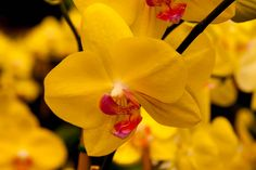 Yellow Orchid, Selby Gardens