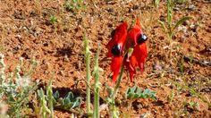 Photo of the Week - Sturt Desert Pea