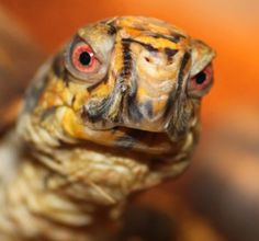 Eastern Box Turtle -- What are you looking at? Wood Turtle, Turtle Pond, Types Of Turtles, Box Turtles, Sea Turtle Wallpaper, Alligator Snapping Turtle, Eastern Box Turtle, Animals And Pets, Cute Animals