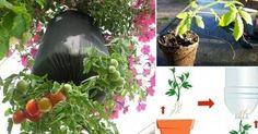 Aprender a cómo hacer una maceta para plantar tus plantas de tomate en botellaenbotellas de plástico, es un proyecto sencillo. La perfecta solución para personas que quieren disfrutar de tomates de cosecha propia, pero no tienenun patio. Podemos cultivar nuestros propios alimentos incluso disponiendo de muy pocos metros. ENLACES PATROCINADOS Este proyecto es muy simple ...