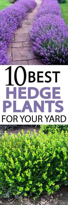 Hedges make great natural fences, learn 10 Great Hedge plants for your yard!