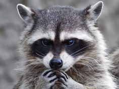 How a handful of Americans got a terrifying extremely rare disease from raccoon poop
