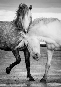 Stallions Of The Carmargue Photograph by Tim Booth - Stallions Of The Carmargue Fine Art Prints and Posters for Sale