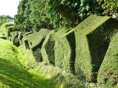 mixgreen:    eye-catching hedges (Lonicera pileata)