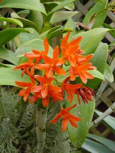 Cattleya aurantiaca, synonym of Guarianthe aurantiaca