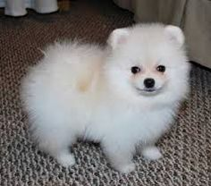 full grown micro teacup pomeranian - Google Search