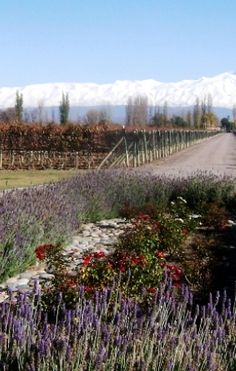 Lavenders, endless vines, Malbec and mountains. Argentina