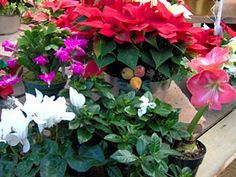 Keep Kids and Pets Safe Around Holiday Plants