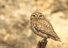 Little Owl (Athene noctua) on a post Most Beautiful Eyes, Beautiful Owl, Owl Facts, Owl Species, Burrowing Owl, World Birds, Owl Photos, Little Owl, Cute Owl