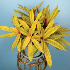 Moses in the Cradle 'Sitara's Gold' (Tradescantia spathacea) This resilient indoor container plant is found in several color forms and 'Sitara's Gold' brings another unique addition. The coppery-gold leaves have deep burgundy undersides and f