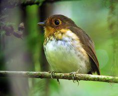 Ochre-breasted Antpitta (Grallaricula flavirostris) by Scott Olmstead, Refugio Paz de las Aves, Pichincha, Ecuador. June 20, 2012 #Bird #Ochre_Breasted_Antpitta #Scott_Olmsted
