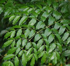 Polyscias elegans (ARALIACEAE) Celerywood, silver basswood