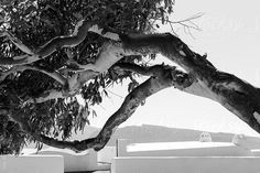 A Eucaliptus tree growing horizontally over the white roof of a building in Santorini, Greece by Paul Phillips