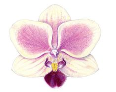 drawing color pencils orchid - Pesquisa Google