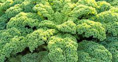 Så enkelt och lätt odlar du din egen grönkål |Land.se
