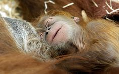 A six-day-old baby orangutan  snuggles up to its mother at Zoom Erlebniswelt in Gelsenkirchen, Germany
