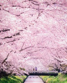 New wall paper flores de cerejeira ideas Beautiful Places To Visit, Beautiful World, Beautiful Gardens, Beautiful Things, Beautiful Nature Wallpaper, Beautiful Landscapes, New Wall, Cherry Blossom Japan, Cherry Blossoms