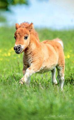 Poulain alezan mini horses, cute baby horses, cute baby animals, animals and pets Cute Baby Horses, Pretty Horses, Horse Love, Beautiful Horses, Animals Beautiful, Mini Horses, Pretty Animals, Cute Funny Animals, Cute Baby Animals