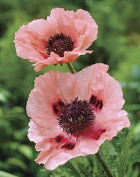 Queen Alexander Oriental Poppy - on my wishlist