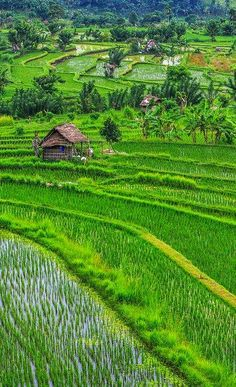 Rice terraces close to Ubud. Bali, Indonesia  #travel