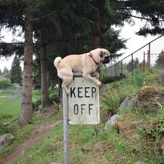 They know when to defy the rules. | 41 Reasons Why Pugs Are The Most Majestic Creatures On Earth
