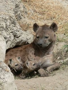 Spotted Hyena and two cubs  in their den, Ngorogoro Crater, Tanzania