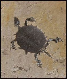 50-million-year-old turtle fossil at Leonard Tourné Gallery