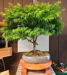 How to Grow Your Own Marijuana Bonsai Tree - #MMJ #Grow - https://greenrushdaily.com/2016/03/17/grow-marijuana-bonsai-tree/