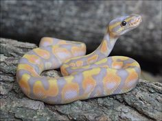 August 2013 -- BALL PYTHON of the MONTH Contest!!