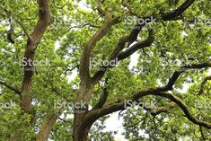 Trunk and branches of common English oak tree (quercus robur) royalty-free stock photo Branches, Photo Tree, Oak Tree, Royalty Free Stock Photos, Plants, Image, English, Trees, Flora