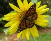 Butterfly Days at Fairchild Tropical Botanic Garden. Great Slide show in article.