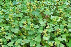 Medicinal Plants Encyclopedia Lokman Hekim: Velcurr And Its Benefits - Modern Natural Herbs, Medicinal Plants, Health Tips, Herbalism, The Cure, Healthy Living, Medicine, Health Fitness, 1
