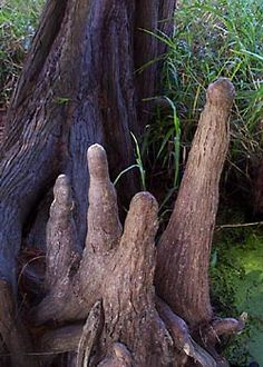 C-012 Cypress knees