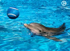It seems like Winter is enjoying playing with a super-sized tennis ball. Anyone up for a match? Clearwater Marine Aquarium, Clearwater Beach, Orcas, All About Dolphins, Dolphin Tale 2, Bottlenose Dolphin, Winter Pictures, Sea Birds, Ocean Life