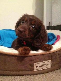 adorable dachshund puppy … #Dachshund