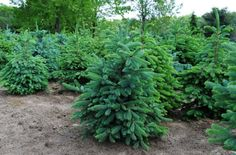 evergreen tree with long needles | colorado blue spruce colorado blue spruce piecea pungens glauca gr ...