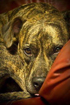 #Pitbull #Puppy #Dog #Pit #Bull