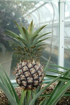 How to Grow a Pineapple Top Indoors