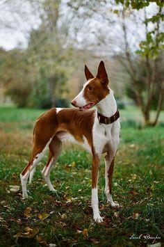 Simply Canine — by Sarah. (wakethesun) // Ibizan Hound