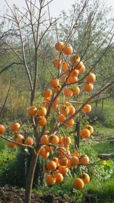 Miért együnk datolyaszilvát - mik az előnyei - Valódi Sáfrány Valley Of Flowers, Plum, Berries, Compost, Food And Drink, Pumpkin, Vegetables, Healthy, Outdoor