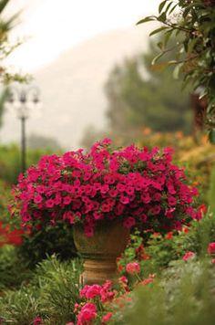 "Proven Winners Supertunia® Vista Fuchsia petunia - heat and drought tolerant, no deadheading necessary, 16"" - 24""H, trails up to 60 """