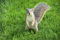 Squirrel I by Photato Jonez