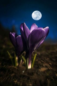 "angel-kiyoss: ""Beautiful flower and moon ! Moon Pictures, Nature Pictures, Beautiful Pictures, Beautiful Moon, Beautiful World, Beautiful Flowers, Photo Voyage, Image Nature, Shoot The Moon"