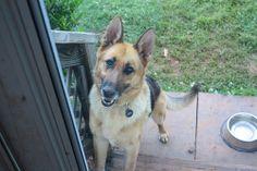 Let me in! Happy Rainer, our German shepherd foster   Abby Farson Pratt