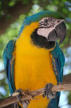 Ara_ararauna_-Blue-and-yellow_Macaw_in_a_tree.jpg (1998×3024)