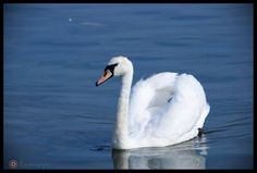 The Swan ©Nono Pirvu by Nono Pirvu Swan, Animals, Animais, Swans, Animales, Animaux, Animal, Dieren