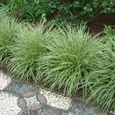 12 x Carex Variegata - Zegge in pot (stukprijs Different Types Of Grass, Buy Grass, Garden Solutions, Ornamental Grasses, Geraniums, Garden Planning, Herbs, Backyard, Leaves